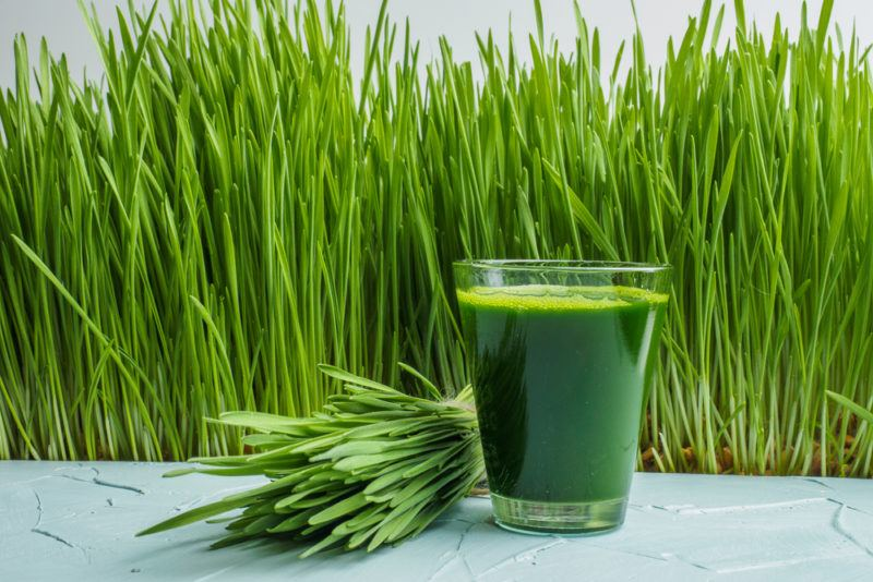 Wheatgrass growing tall in front of a blue table with a bundle of wheatgrass