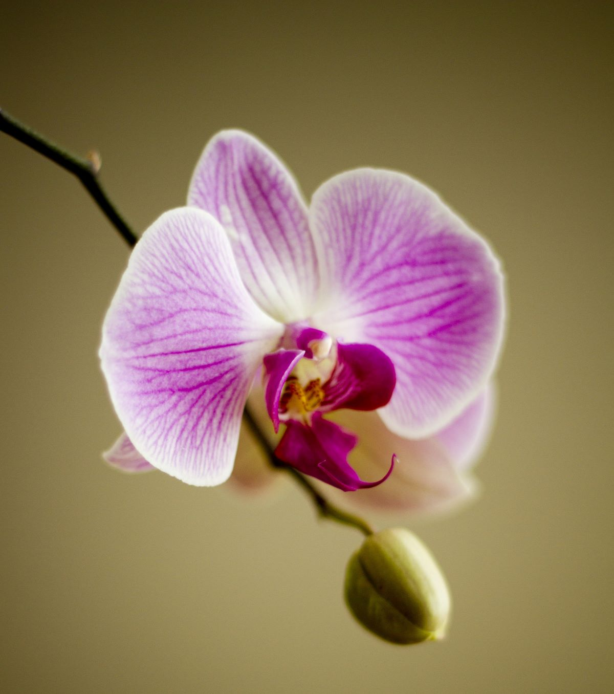 Single orchid flower with darker purple as it fades out to the white edges, and a closed bud below