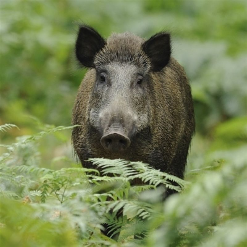 Wild boar standing in ferns looking directly at the camera