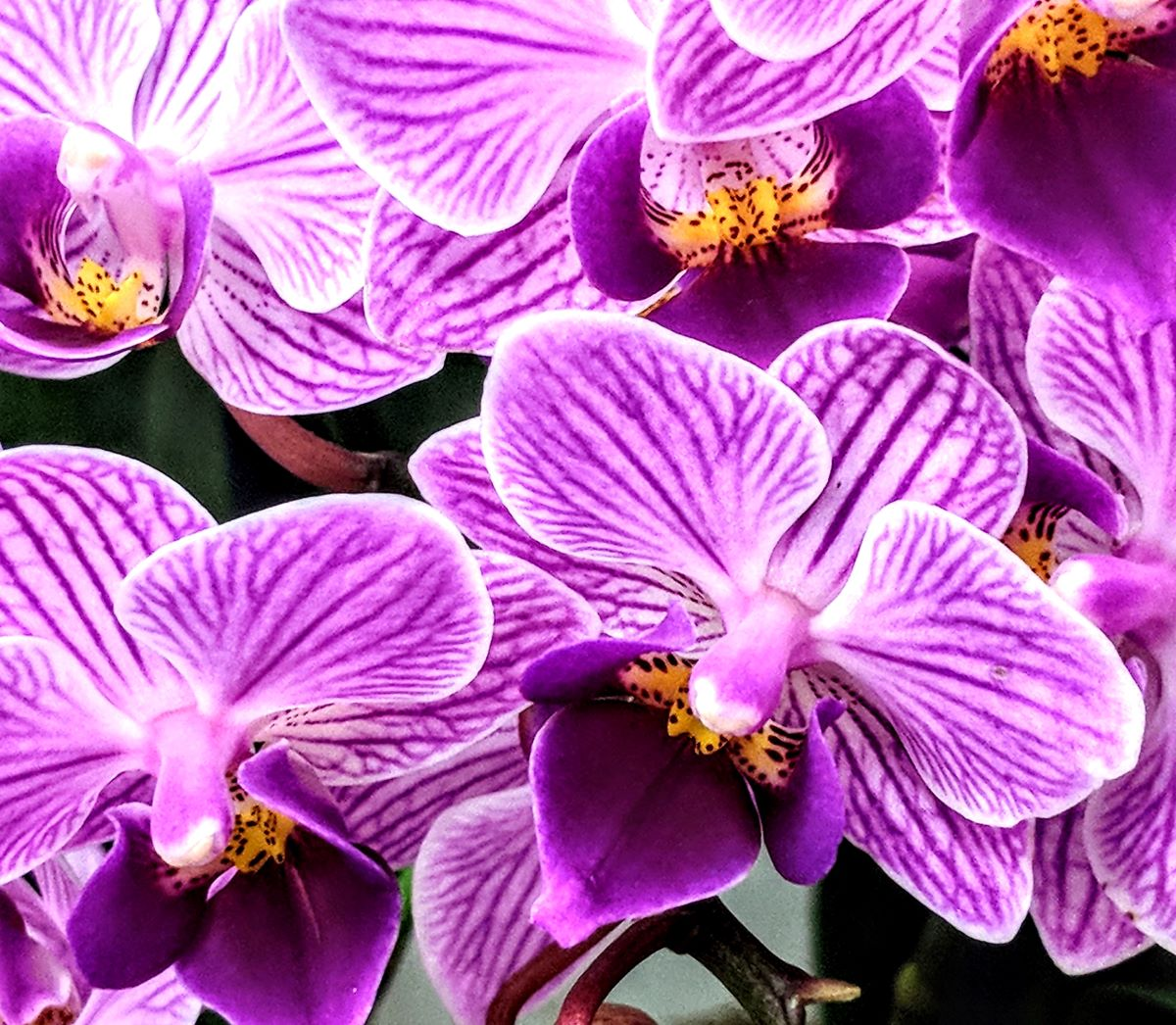 Orchid of the Month Clubs - Purple veragated orchids with yellow in the center
