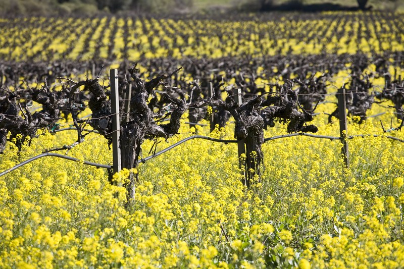old zinfandel grape vines with mustard flowers